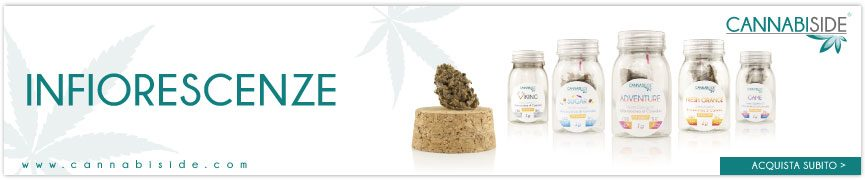Infiorescenze di Cannabis Sativa L. ricche di CBD. Fiori di Canapa Cannabiside Top Quality